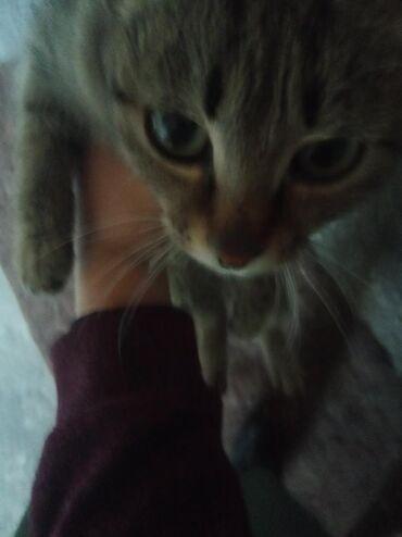 Коты - Кыргызстан: Котёнок,1,5 месяц ласковая,слишком умная, игровая,ловит мышей будет