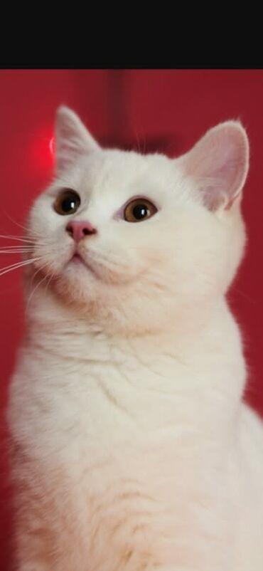 вислоухий шотландец котенок в Азербайджан: В продаже британский котёнок мальчик 2 месяца!От красивых родителей с