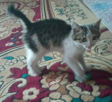 котенок в Кыргызстан: Котенок в хорошие руки