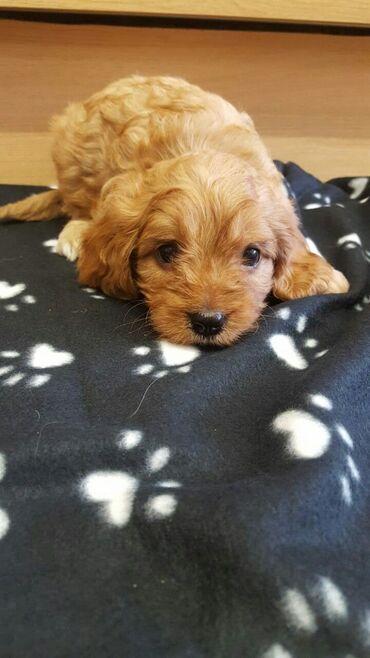 Για σκύλους - Αθήνα: Όμορφα και υπέροχα κουτάβια cavapoo είναι διαθέσιμα στην αγορά  Τα αξι