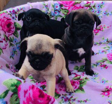 Καλέστε τα κουτάβια PugΈχουμε ξεχωριστά αρσενικά και θηλυκά κουτάβια