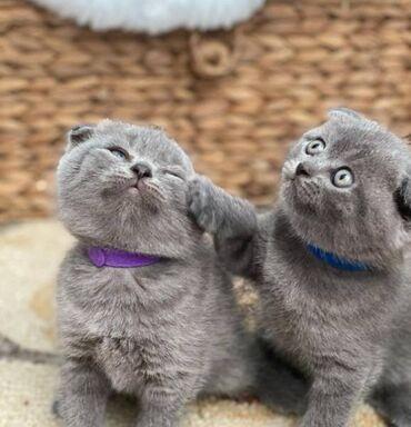 Έχω αξιολάτρευτα σκωτσέζικα γατάκια που ψάχνουν για ένα σπίτι για