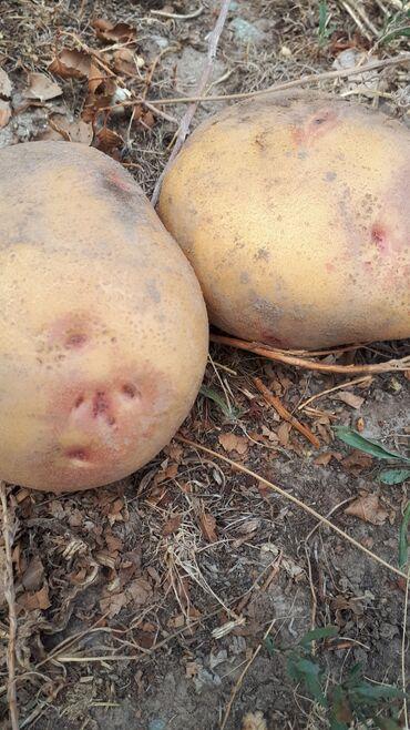 манго фрукт цена бишкек в Кыргызстан: Картошка с поля'  Пикассо