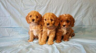 Dostupni slatki štenad Cavapoo.Prekrasno leglo zapanjujućih štenaca