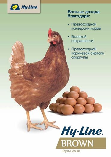 Животные - Кызыл-Адыр: Хай-Лайн Браун яйцо 1 шт 60 сом
