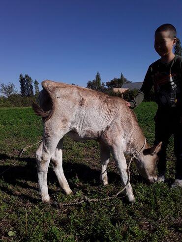 С/х животные - Кок-Ой: Продаю телёнка молочно-щвицкой породы