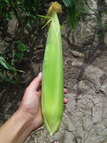 Продаю сладкую кукурузу. Мегатон