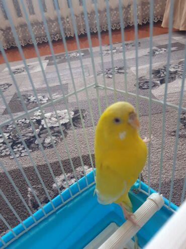 лол в Кыргызстан: Продаю попугая девочка (лола) вместе с клеткой