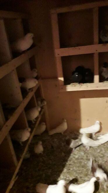 Kömür - Azərbaycan: Goyercinler satilir, secme goyercinlerdi Yuva ile birlikde 300 manat (