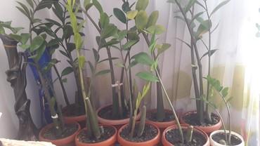 растение-комнатная в Кыргызстан: Продаю ком цветы дёшево от 100 и выше договоримся