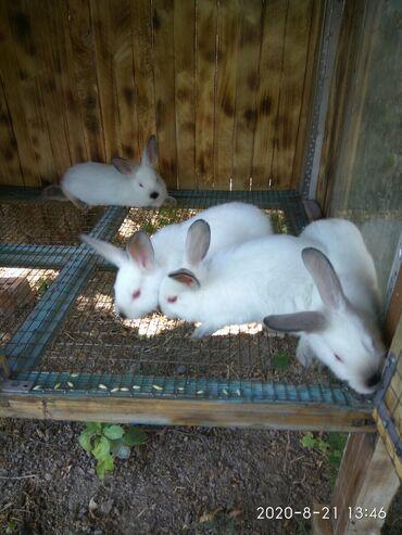Грызуны - Беловодское: Чистокровные Калифорнийские кролики.3 месяца.Дата рождения 08.07.2020