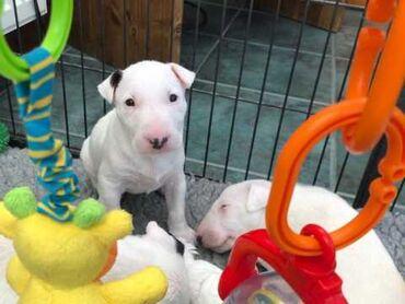 Αγγλικά Bull Terriers Kc RegΌμορφα κουτάβια εκφοβισμού kc εγγεγραμμένα