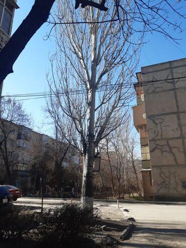 Продам тополь и еще 3 дерева