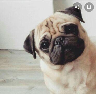 куплю мопса в Кыргызстан: Возьму даром в добрые руки щенка мопса (оплата символическая), чистокр