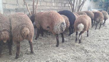 quzular - Azərbaycan: Quzu. Damazliq erkek ve diwi Qala cinsi quzular. Heyvanlar tam saglam