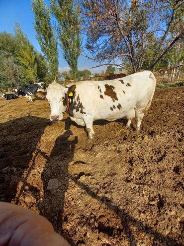 139 объявлений   ЖИВОТНЫЕ: Продаю   Корова (самка)   Голштин   Для молока   Искусственник