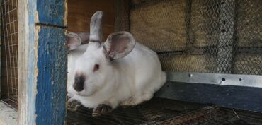 58 elan | HEYVANLAR: Kaliforniya dovşanları satılır