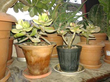 Salam.Pul agaci ve dekorativ guller tecili satilir.26 illik boyuk pul