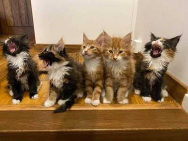 Γατάκια του Μέιν Ρακούν. Είναι Tica καταχωρημένα, μικροτσίπ, εμβολιασμ
