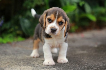 Beautiful Pedigree Beagle Pups Pra Clear σε Central Greece
