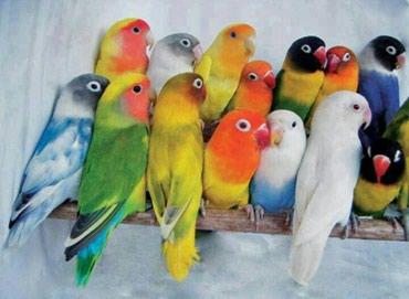 Попугайчики разных видов Волнистые, в Бишкек