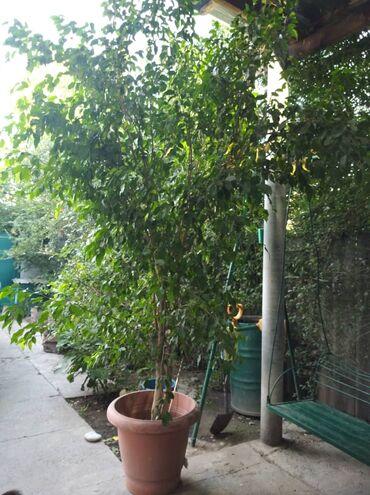 Фикус -комнатное растение.На данный момент достиг 3,5 метров высотой