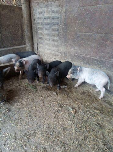 Животные - Сретенка: СРОЧНО!!! Продаются Вьетнамские поросята 1,5 месяца