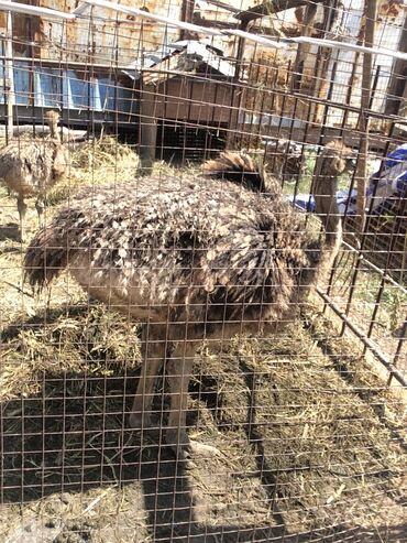 10927 объявлений: Продаём страусят африканской пароды цена договорная есть 4 мес и 3 мес
