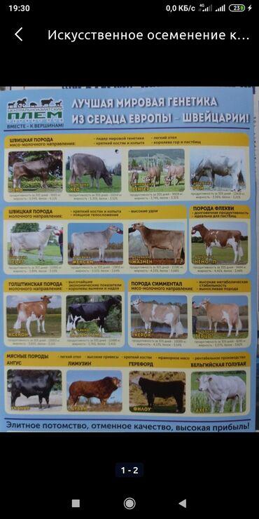 Животные - Бишкек: Искусственное осеменения коров. Стаж 40 лет работает по Ысык-Атинскому