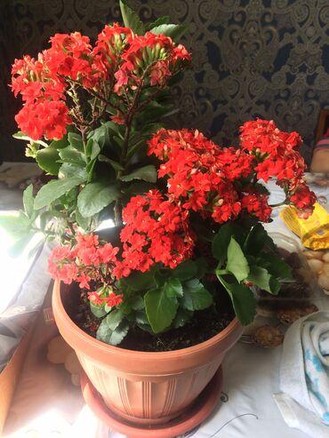 гул букет в Кыргызстан: Гул сатылат. Продаётся цветы