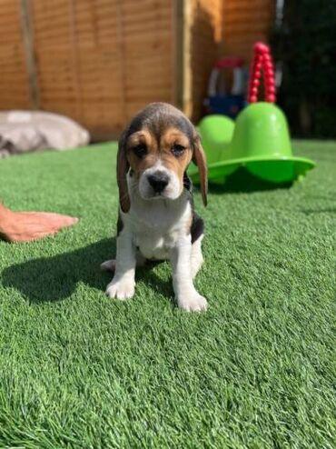 Όμορφα κουτάβια beagle και θηλυκάψάχνω για ένα αγαπημένο σπίτι για