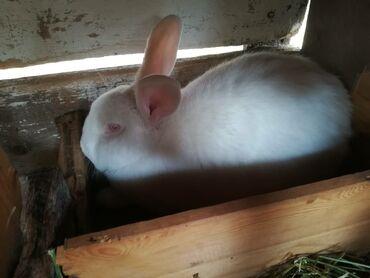 Декоративные кролики - Кыргызстан: Продаю самку Нзб беременная