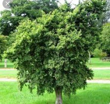 75 объявлений: Каражыгач бак /карагач дерево 5 штук на дрова