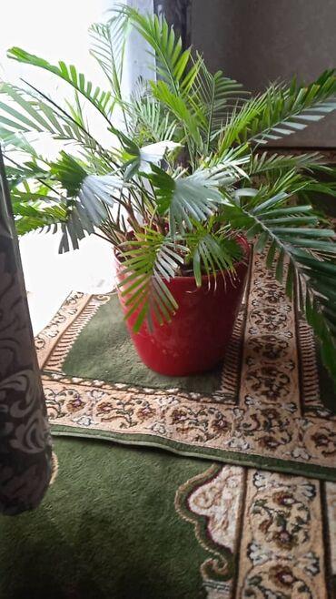 Комнатные растения - Кыргызстан: Цветы растение