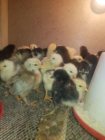 Продаю | Цыплята | Брама, Домашняя | Для разведения