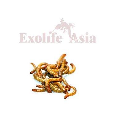 Продаю мучного червя (хруща)минимальный заказ 50шт. цена за единицу в Бишкек