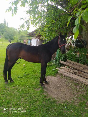 Животные - Бишкек: Лошадь рост 165 бышты трёх годовалый.полу кровка. Сокулук