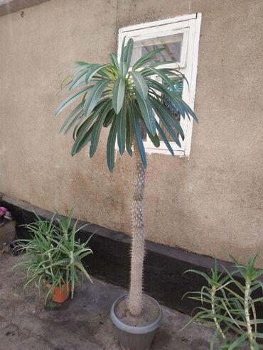 Комнатные растения - Беловодское: Продается пахиподиум. Высота полтора метра. с.беловодское