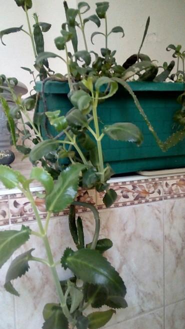 комнатный-цветы в Кыргызстан: Домашний цветок в горшке