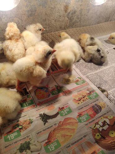 Продаю суточных цыплят брама. В основном белая брама. Родители на фото