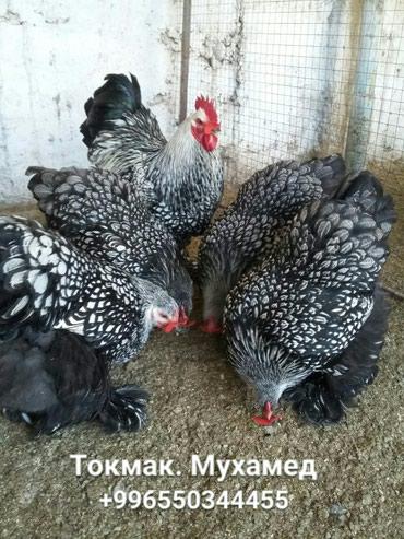 Яйца на инкубацию Элита в Бишкек