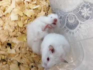 Продаю сирийских хомячков, белые