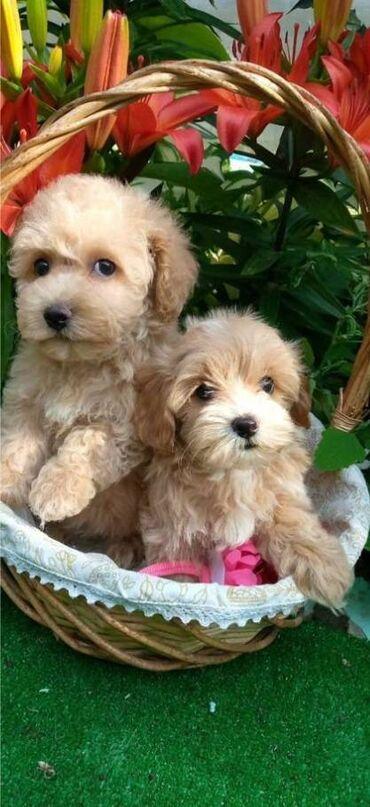 Животные - Тюп: Мальтипу щенки Прекраснейшие малыши мальтипу F1Размер мини