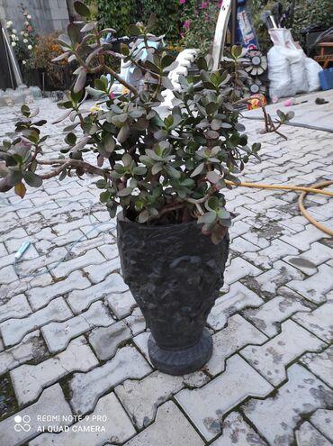 Денежное дерево - Кыргызстан: Денежное дерево, комнатный цветок. Живое дерево