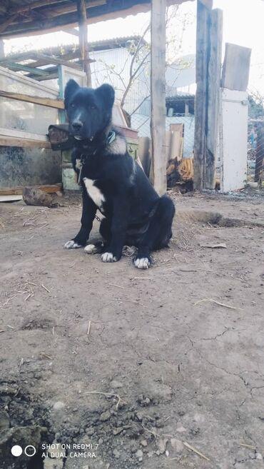 Продаю срочно щенка алабай возраст 4 месяцаЦена договорная город
