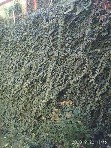 беседки бишкек in Кыргызстан | ГРУЗОВЫЕ ПЕРЕВОЗКИ: Плющ,саженцы плюща! Веснозеленое ПЛЕТУЩЕЕСЯ растение,украсит любую