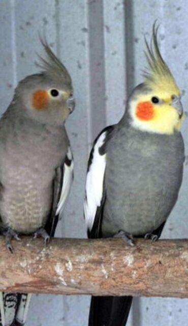 Птицы - Кыргызстан: Попугаи Карелла хорошо учатся говорить и приручаются к рукам. Так же