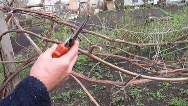 Бытовые услуги - Кыргызстан: Произвожу обрезку винограда