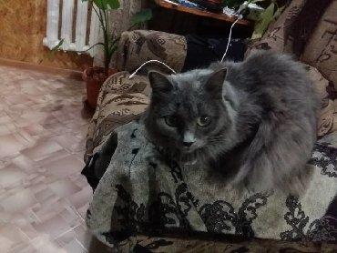 бенгальская кошка домашняя в Кыргызстан: Пропала кошка, 8мкр (Советская-Донецкая, около общежития, около садика