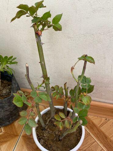 Otaq bitkiləri - Azərbaycan: Qizil gul. 2 azn. Qirmizi rozalardir